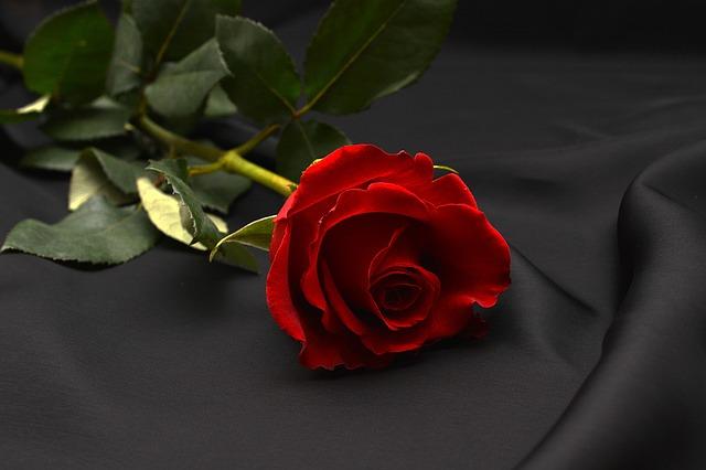 rose-1231354_640