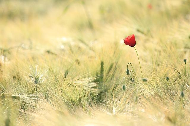 poppy-1144084_640